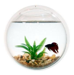 Wall mounted acrylic fish bowl for shipped shesaved for Acrylic fish bowl