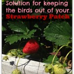 Garden Tip: Easy Solution for Keeping the Birds Out of Your Strawberry Patch