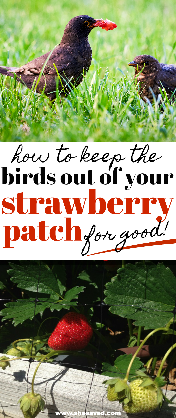 how to keep birds out of strawberry patch