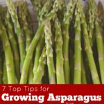 7 Top Tips for Growing Asparagus