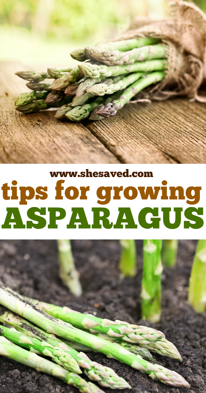 Tips for growing asparagus in your garden