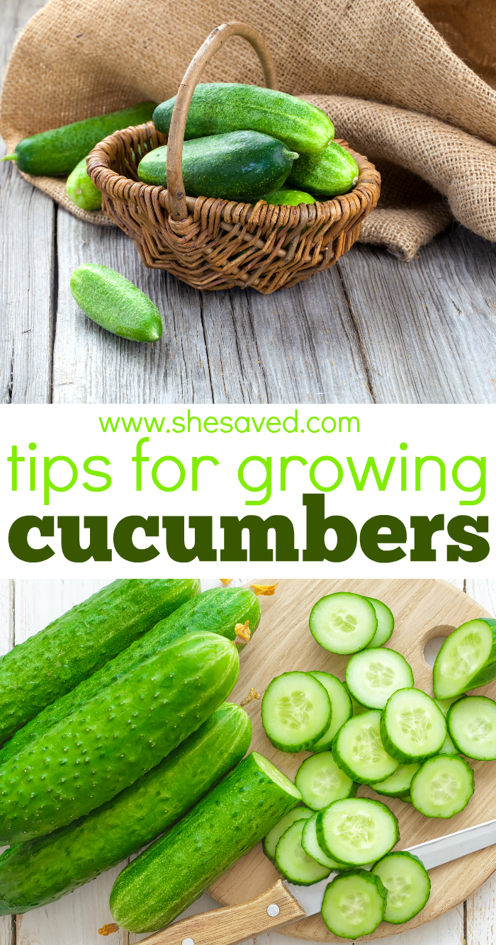 Top tips for Growing Cucumbers in your garden