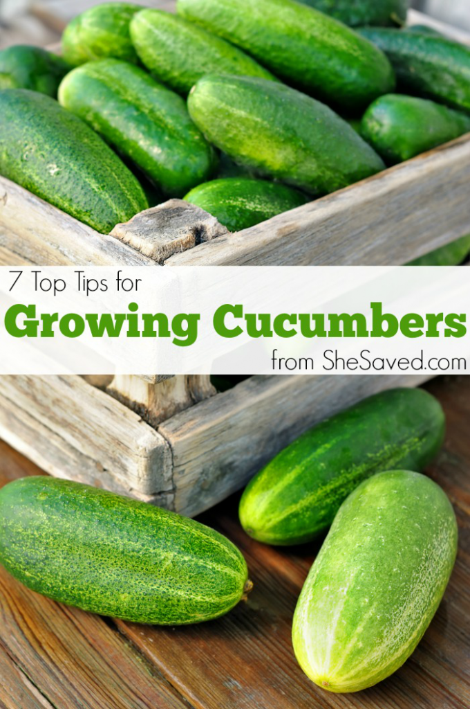 If you are looking for garden tips and tricks here are my top tips for growing cucumbers.