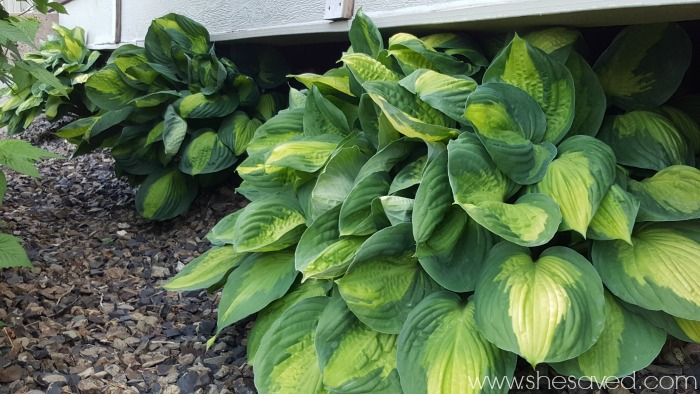 Looking for tips for growing hosta plants? These 7 tips will help you to grow beautiful hostas!