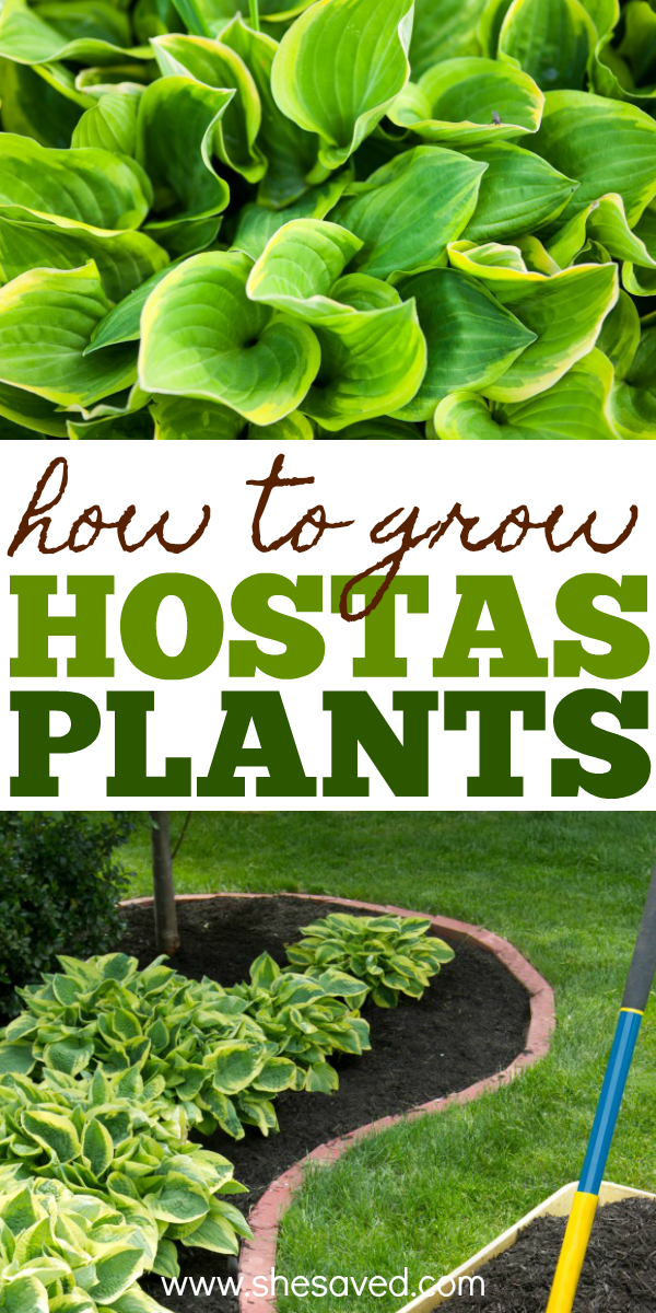 Our best tips for how to grow hostas plants and when and where to plant them