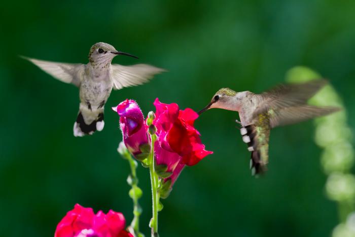 Getting hummingbirds to your garden