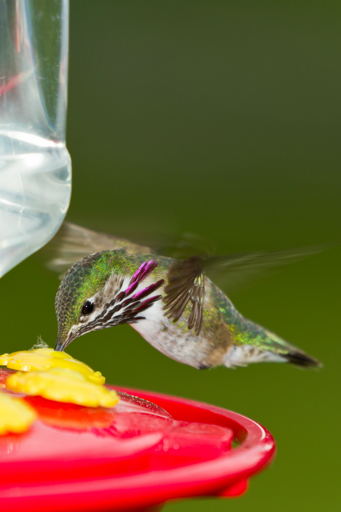 hummingbird feeder and how to make nectar
